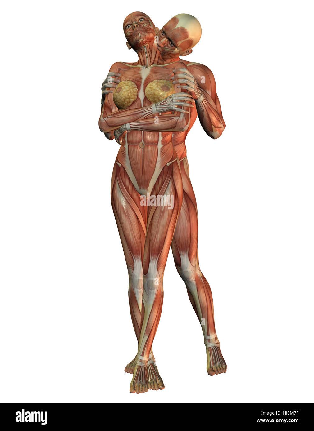 Wissenschaft, Mensch, Menschen, Muskel, Illustration, Anatomie ...