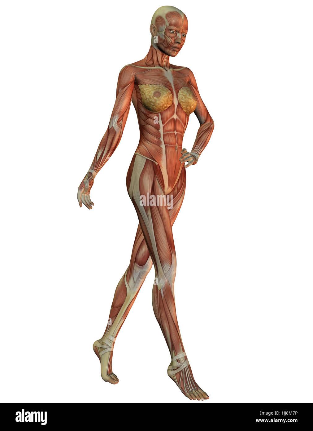 Fein Interaktive Anatomie Muskeln Ideen - Anatomie Ideen - finotti.info