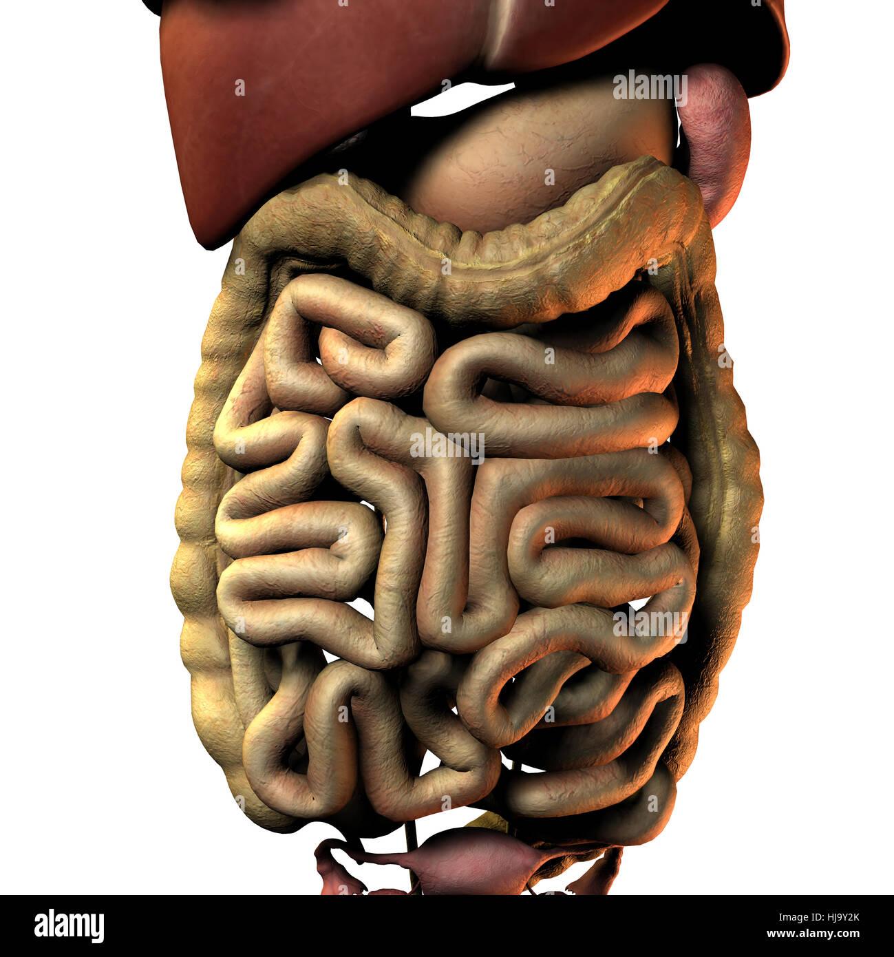 Ungewöhnlich Anatomie Der Linken Seite Des Bauches Fotos ...