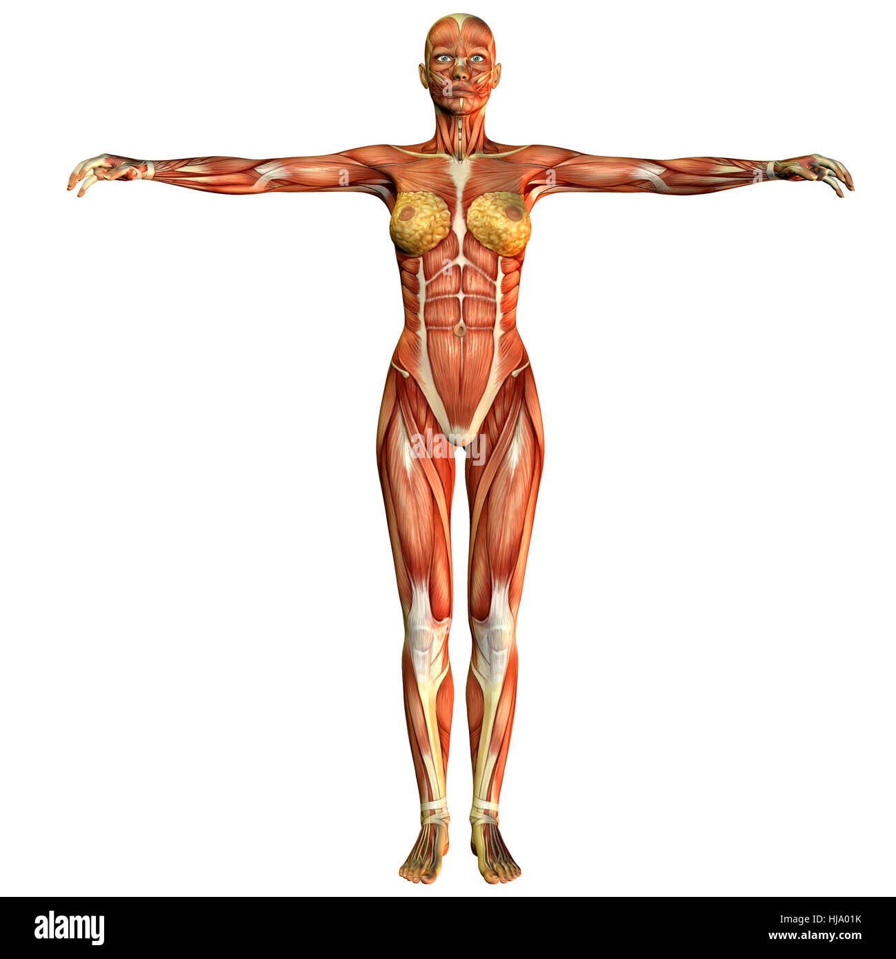 Berühmt Die Muskeln Des Körpers Bilder - Anatomie Ideen - finotti.info
