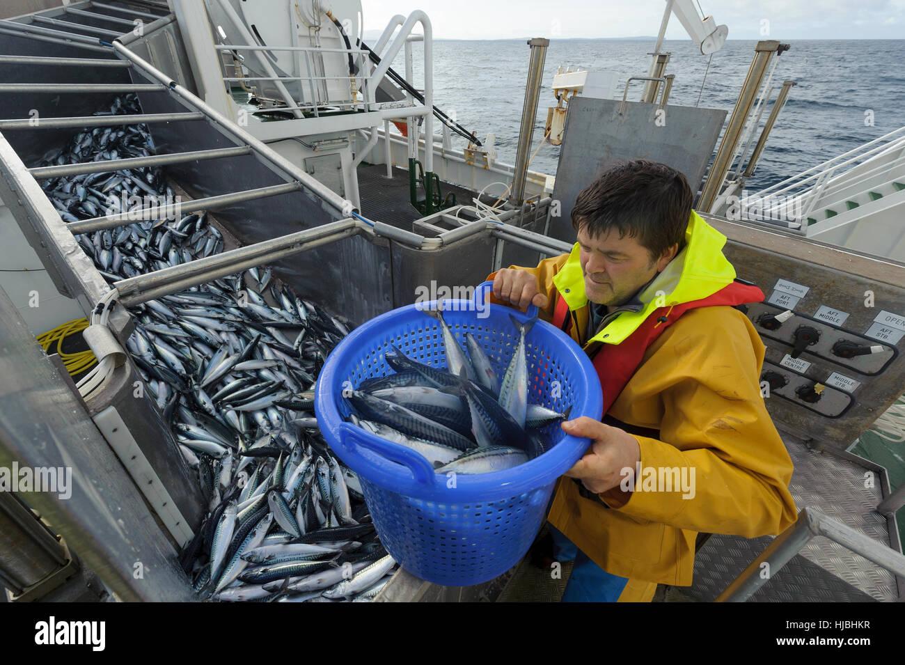 """Crew-Mitglied David Anderson auf den pelagischen Trawler """"Charisma"""" Probenahme Makrele Fang genommen aus Stockbild"""