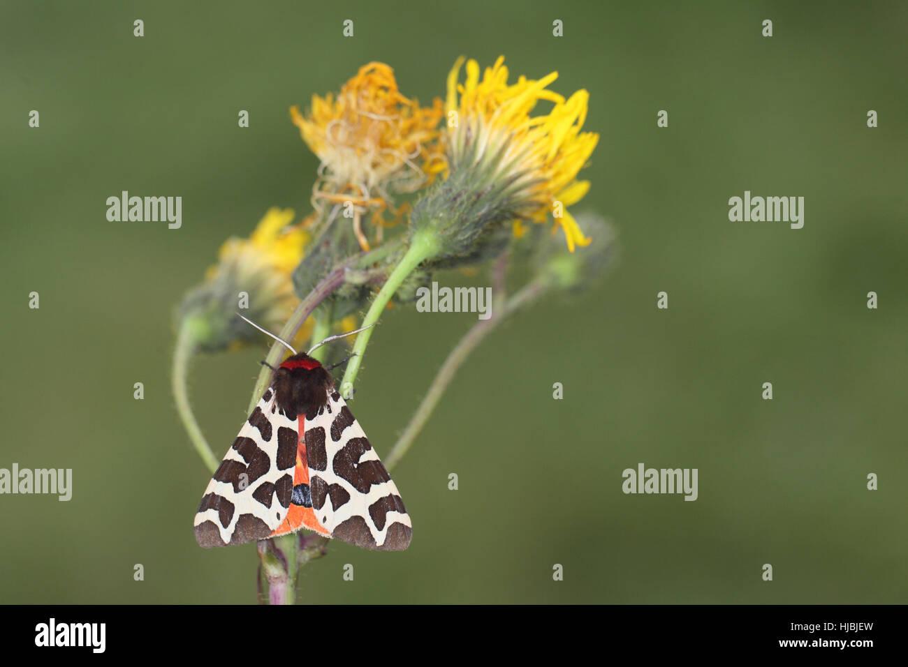 black and yellow moth stockfotos black and yellow moth bilder alamy. Black Bedroom Furniture Sets. Home Design Ideas