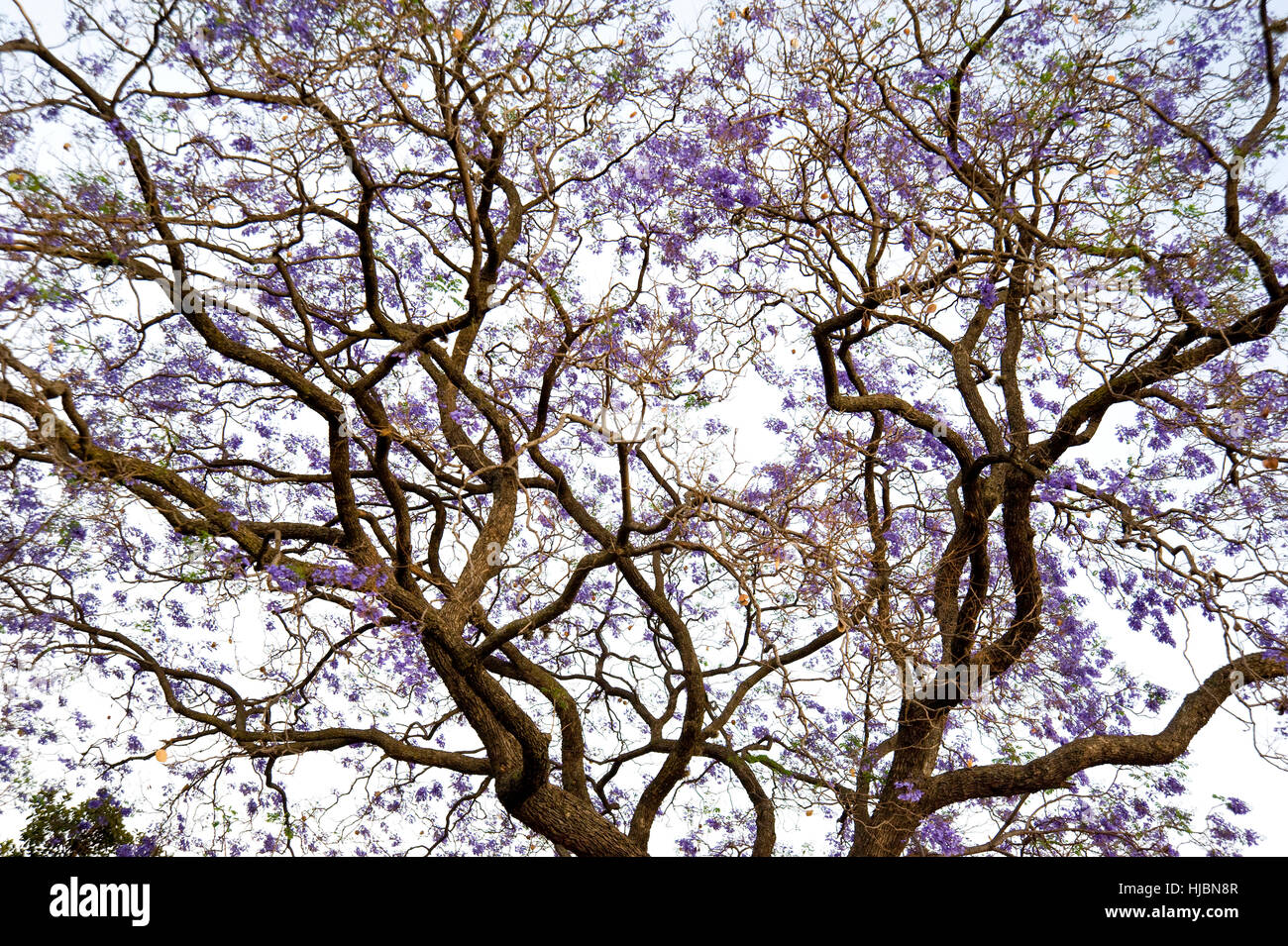 purple flowers jacaranda tree in stockfotos purple. Black Bedroom Furniture Sets. Home Design Ideas