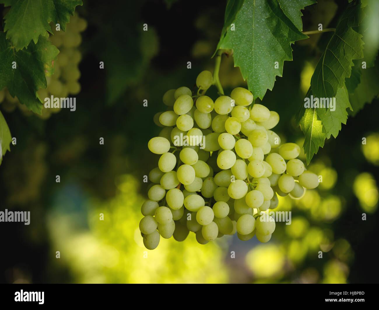 Natürlich gewachsene Sultana Trauben am Rebstock in australischen Weingut hängen Stockbild