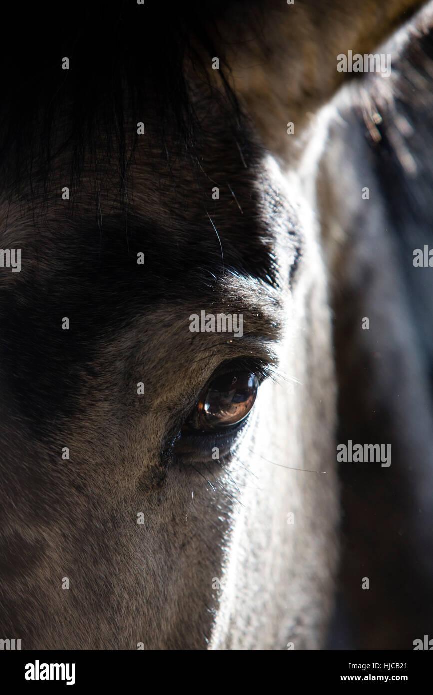 Nahaufnahme von Augen, Augenbrauen und Ohr des Pferdes Stockfoto