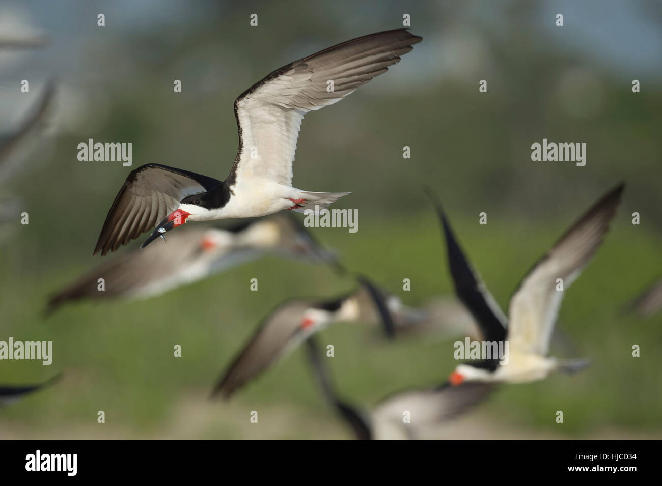 Ein schwarzes Abstreicheisen fliegt mit einem Fisch im Schnabel vor einer Herde von anderen Skimmer. Stockbild