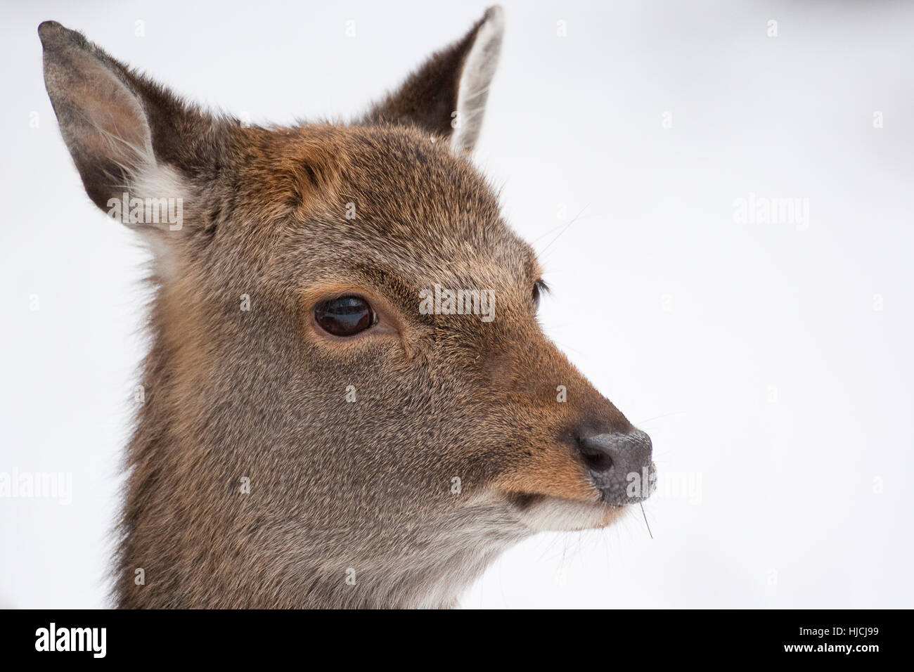 Sika, Sika-Hirsch, Sikahirsch, Sikawild, Sika-Wild, Jungtier, Cervus Nippon, Sika Hirsch Stockbild