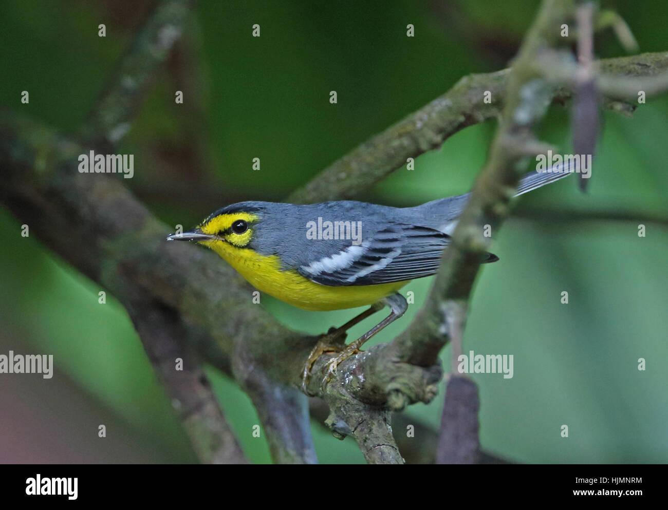 St Lucia Warbler (Setophaga Delicata) Erwachsene thront auf AST Fond Doux Plantation, St. Lucia, kleine Antillen Stockbild