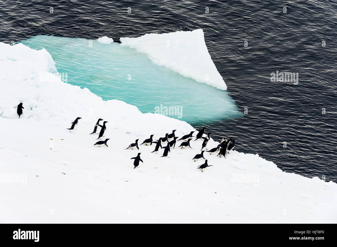 Adelie-Pinguine vorzubereiten, vom Meer Eisrand in der Antarktis schwimmen zu gehen. Stockbild