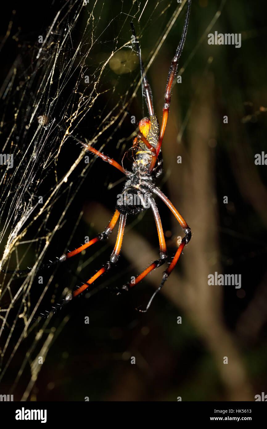 Golden Orb-Seidenweberin, Riesen Spinne Nephila Web. Nosy Mangabe, Provinz Toamasina, Madagaskar Natur und Wildnis Stockbild
