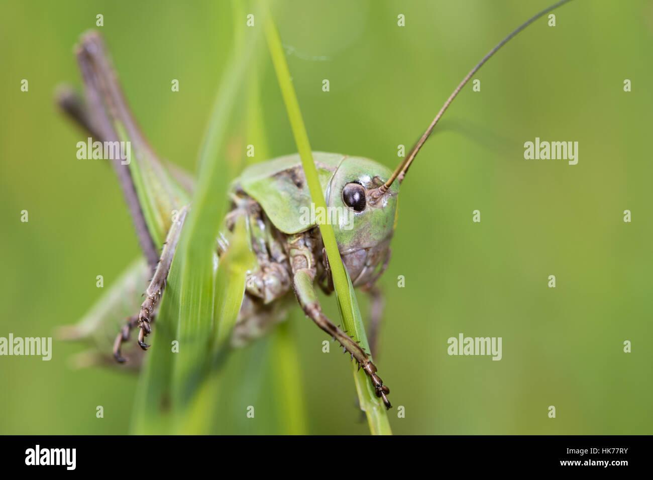 Bush-Cricket SP. (Tettigoniidae), Französische Alpen, Frankreich Stockbild