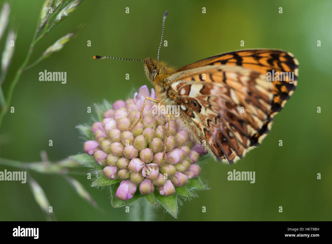 Webers Fritillary (Boloria Dia) ruht auf einem ungeöffneten Feld Witwenblume (Knautia Arvensis) Blüte Stockbild