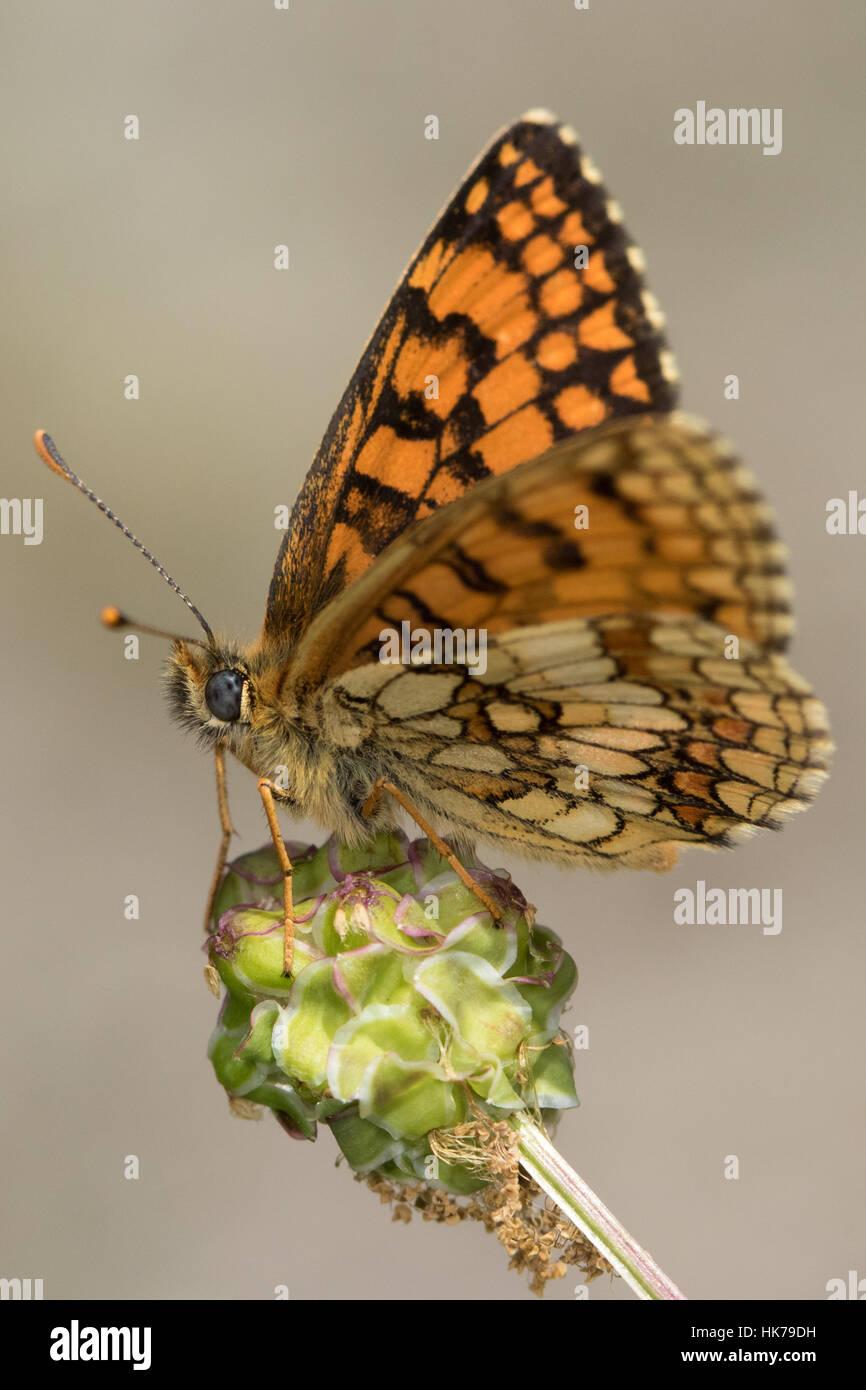 Flockenblume Fritillary (Melitaea Phoebe) ruht auf einem seedhead Stockfoto