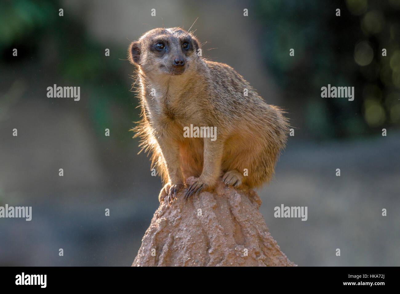 Ein erdmännchen (suricata suricatta) sitzt auf einem Felsen, heraus aufpassen Stockbild