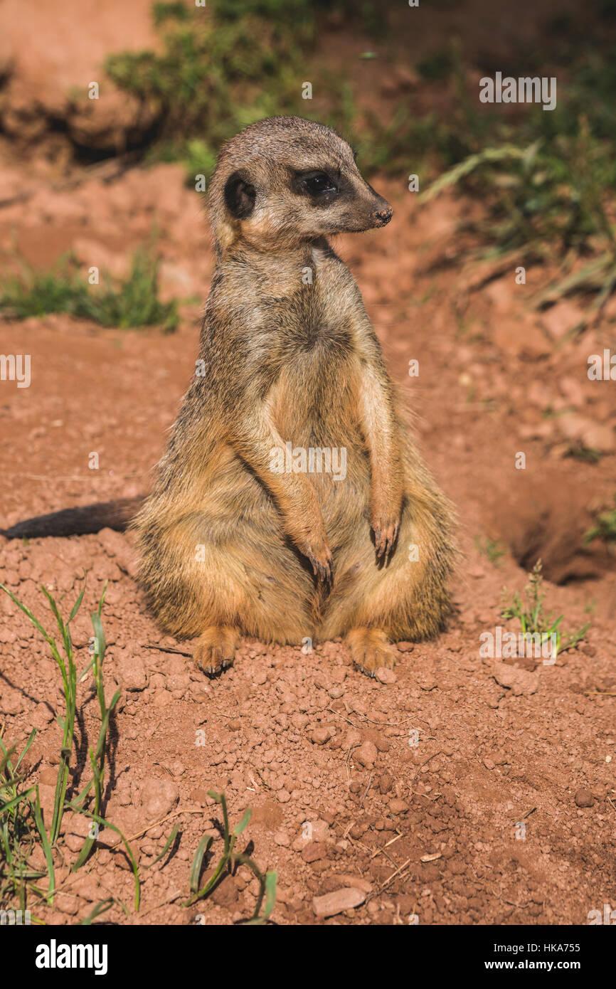 Ein erdmännchen (suricata suricatta) sitzt auf dem Boden, heraus aufpassen Stockbild
