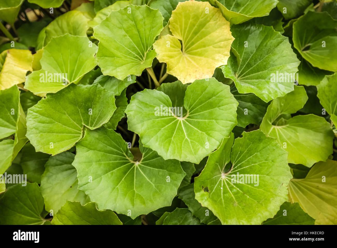 Große Grüne Blätter Einer Tropischen Pflanze Im Botanischen Garten