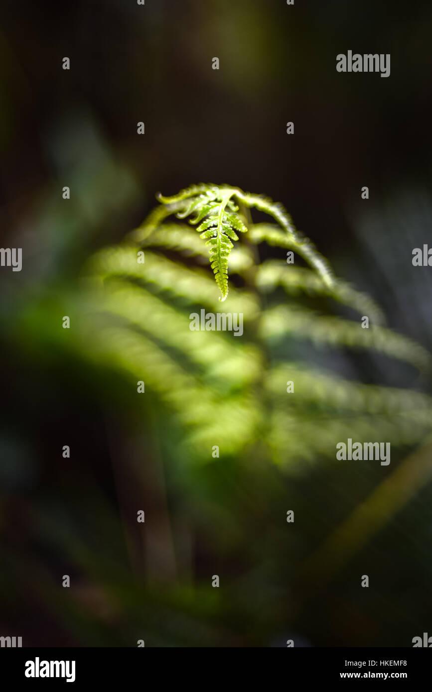 Detail eines Blattes Baumfarn im submontanen Tropenwald. © Reynold Sumayku Stockbild