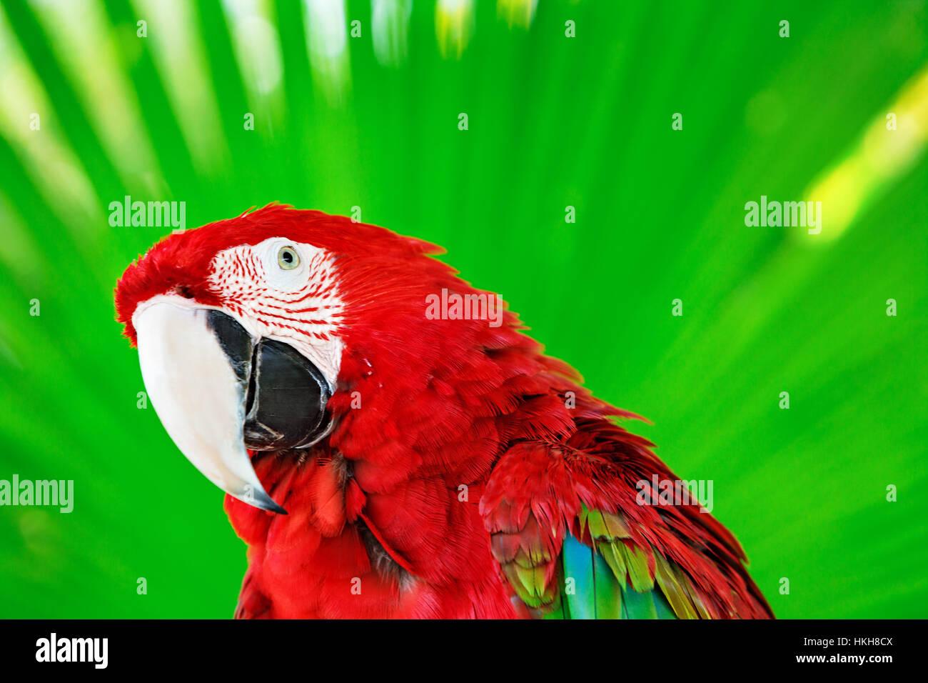 Porträt von roter Ara Papagei gegen Dschungel. Papagei Kopf auf grünem Hintergrund. Natur, Tierwelt und Stockbild