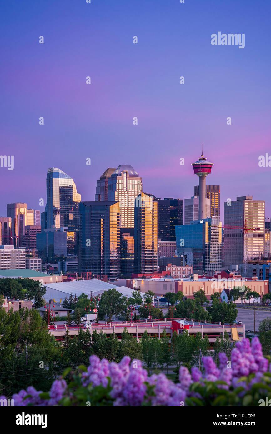 Fliederbusch und die Skyline von Calgary, Calgary, Alberta, Kanada Stockbild