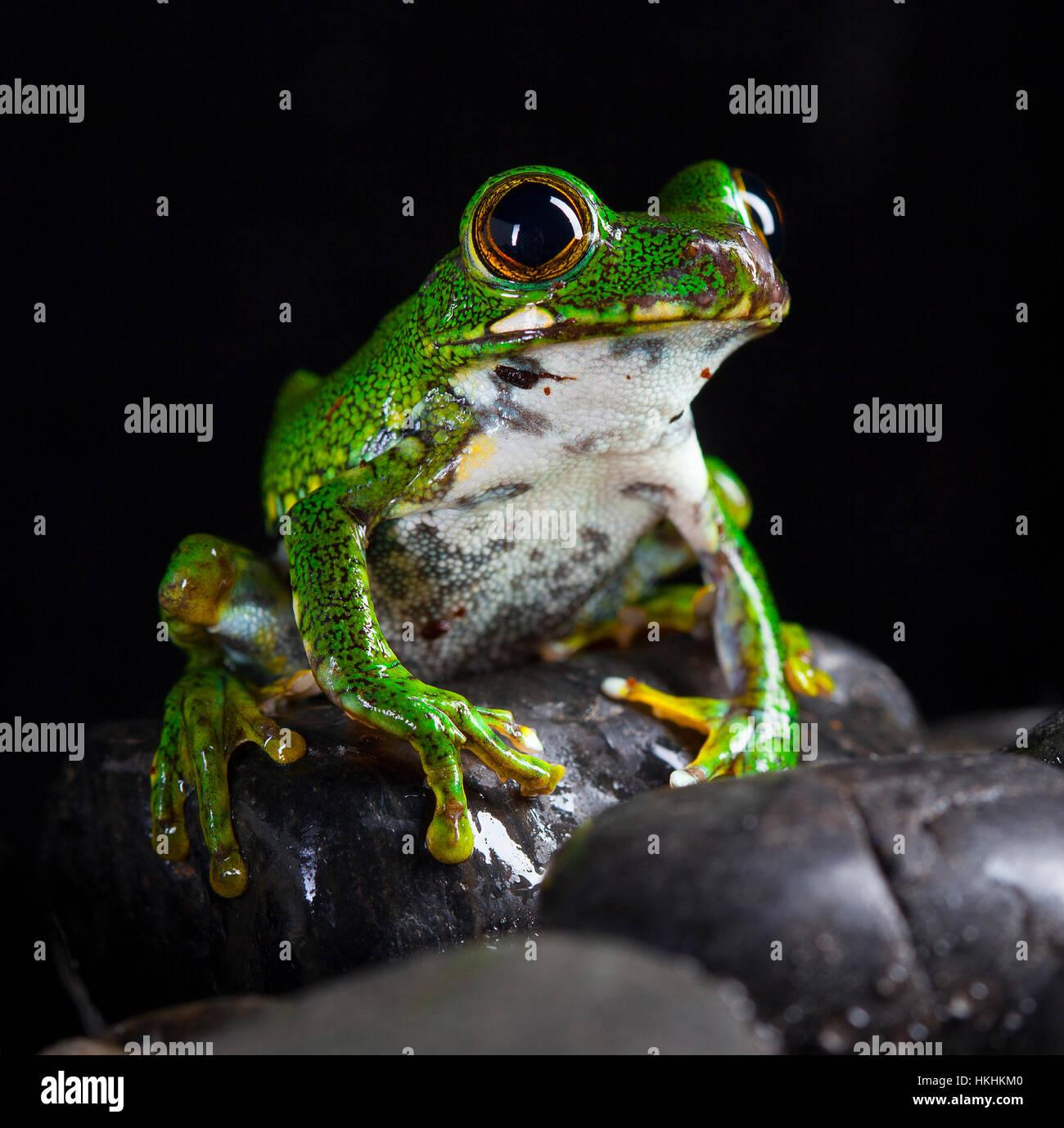 Leptopelis Vermiculatus Frosch im Studio mit schwarzem Hintergrund Stockbild