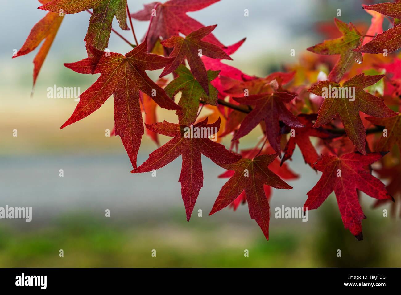 Sweetgum (Liquidambar) Blätter färben sich im Herbst rot; Astoria ...