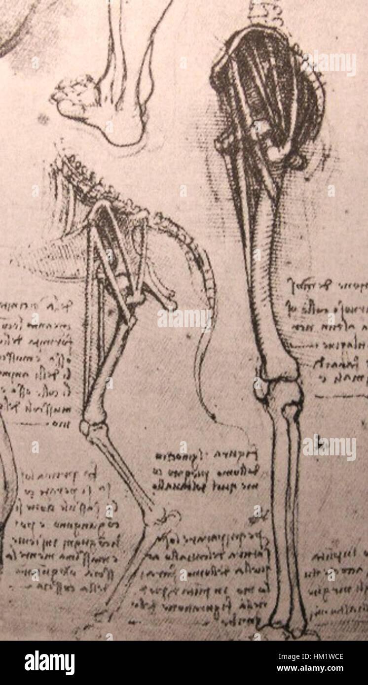 Leonardo-Anatomie von Hund und Mensch Stockfoto, Bild: 132807598 - Alamy