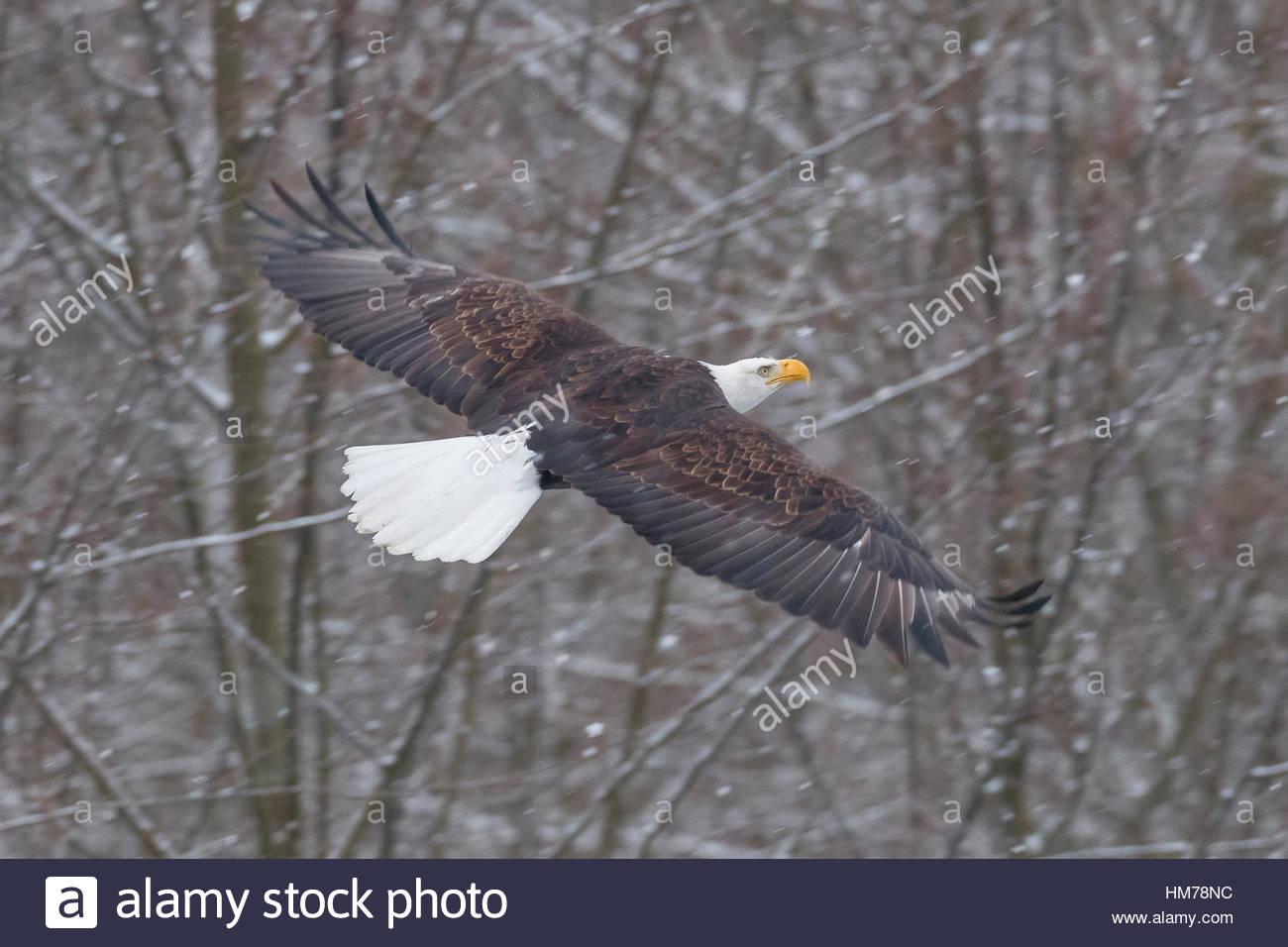 Ein Erwachsener Weißkopf-Seeadler (Haliaeetus Leucocephalus) fliegt über den Nooksack-Fluss in der Nähe Stockbild