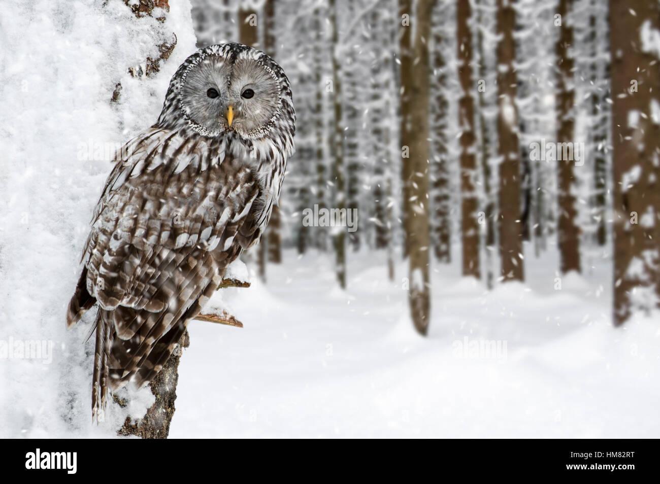 Habichtskauz (Strix Uralensis) thront im Baum im Wald während der Schneedusche im winter Stockbild