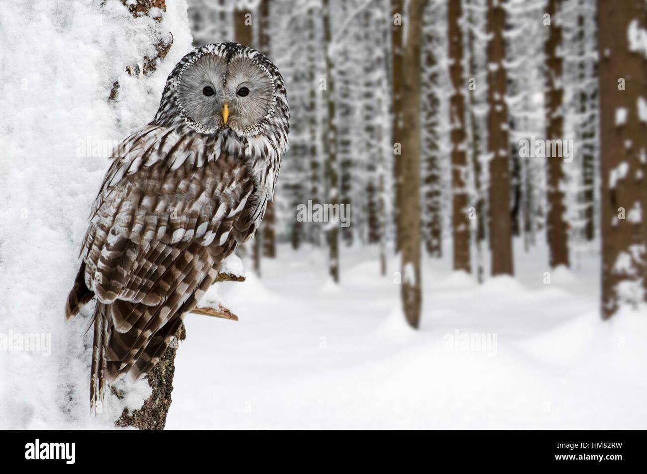 Habichtskauz (Strix Uralensis) thront im Baum im Wald im Schnee im winter Stockbild