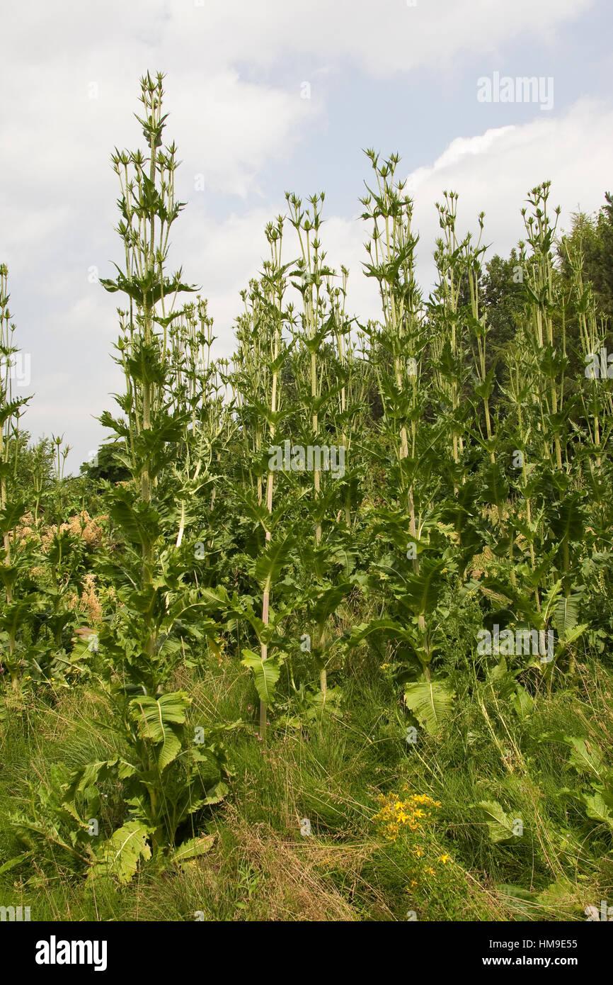 Schlitzblatt-Karde, Schlitzblättrige Karde Dipsacus Laciniatus, schneiden Leaved Karde Cutleaf Karde Stockfoto