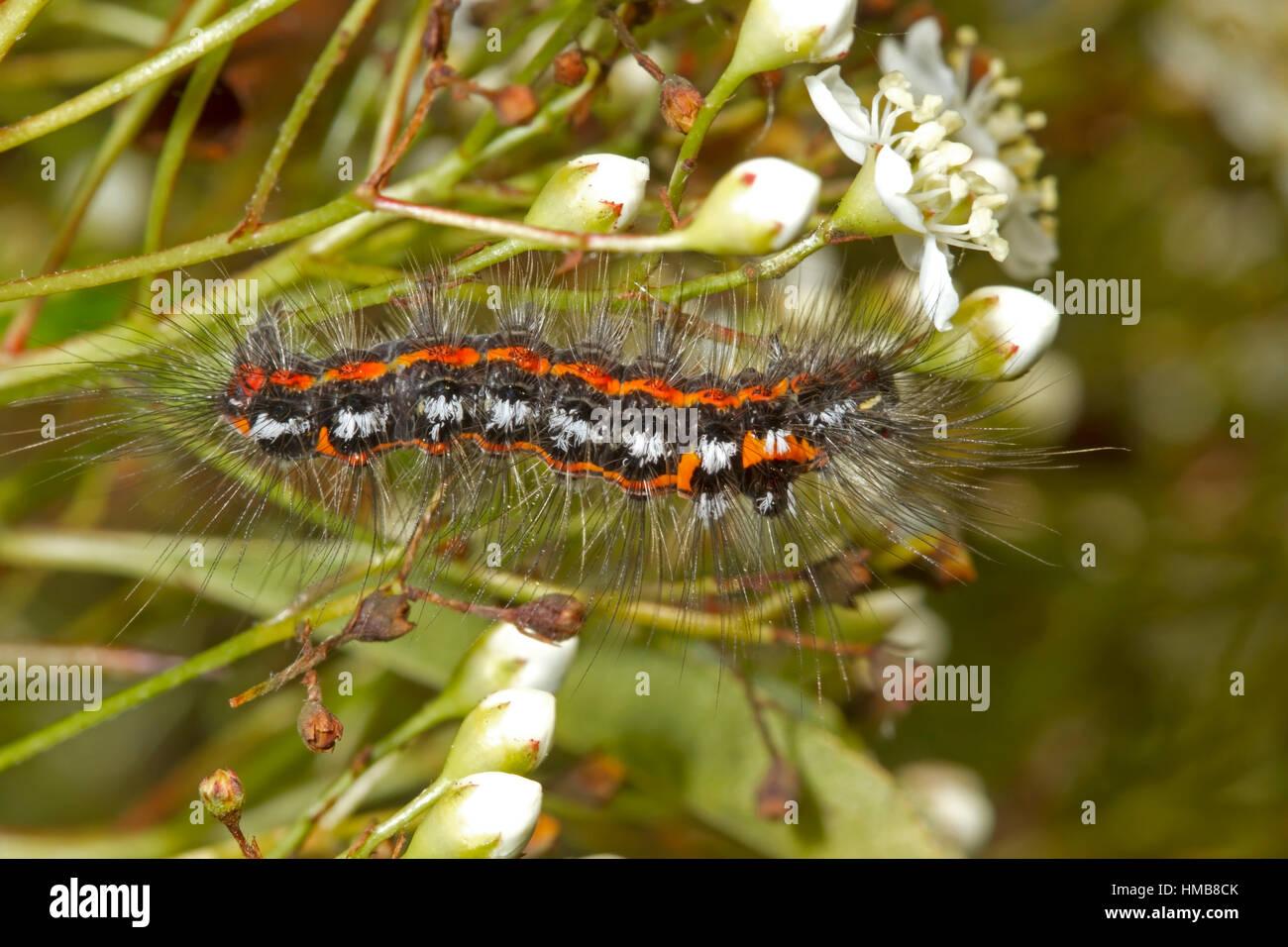 Gelb-Tail Moth - Euproctis Similis - Raupe Fütterung auf Pyracantha oder Feuerdorn Stockbild