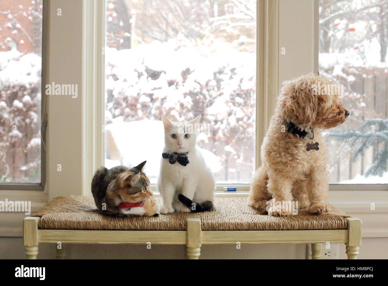 Drei Tiere, zwei Katzen und ein Hund auf einer Bank in einem lichtdurchfluteten Raum zu interagieren. Die Tiere Stockfoto