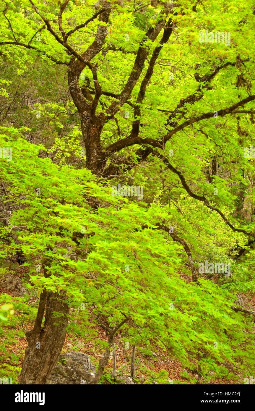 Uvalde groß-Zahn-Ahorn (Acer Grandidentatum), Lost Maples State Park, Texas. Stockbild