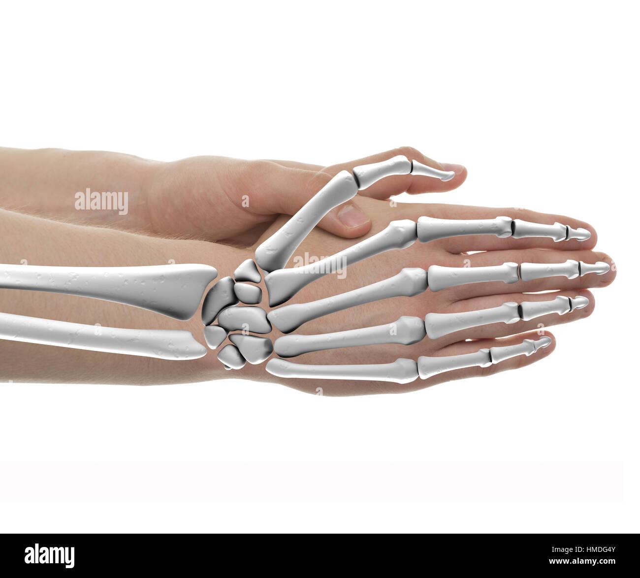 Hand Knochen männlichen Anatomie - Studio mit 3D Abbildung isoliert ...