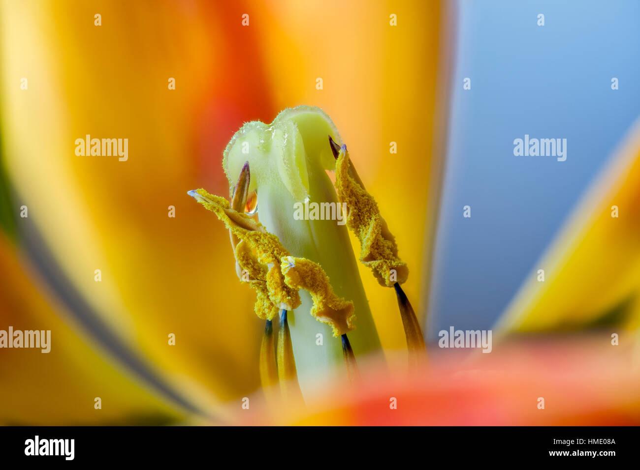 Nahaufnahme von orange Tulpe Blume Fortpflanzungsorgane-Victoria ...