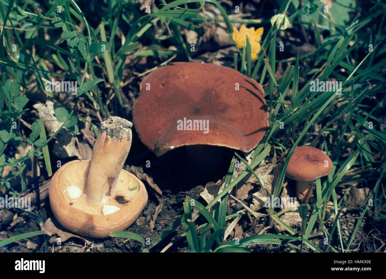 Beispiel für Weeping Milch Mütze oder voluminös-Latex milchig (Lactarius Volemus), Russulaceae. Stockbild