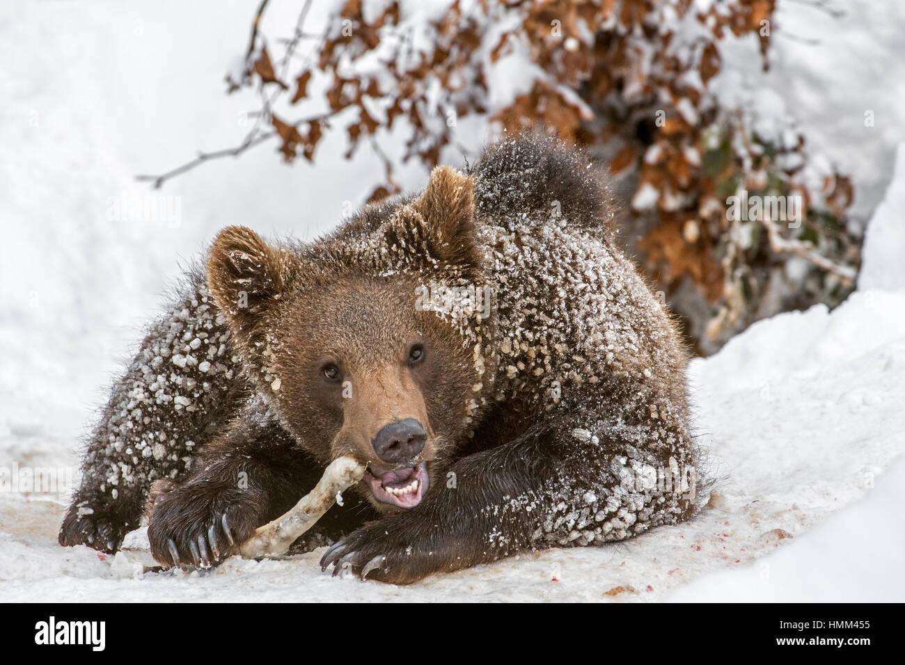 Ein Jahr alt Brown Bear Cub (Ursus Arctos Arctos) nagt am Knöchel ...