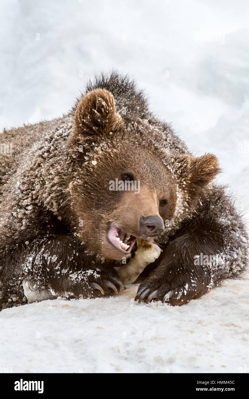 Gnawing Bone Stockfotos & Gnawing Bone Bilder - Alamy