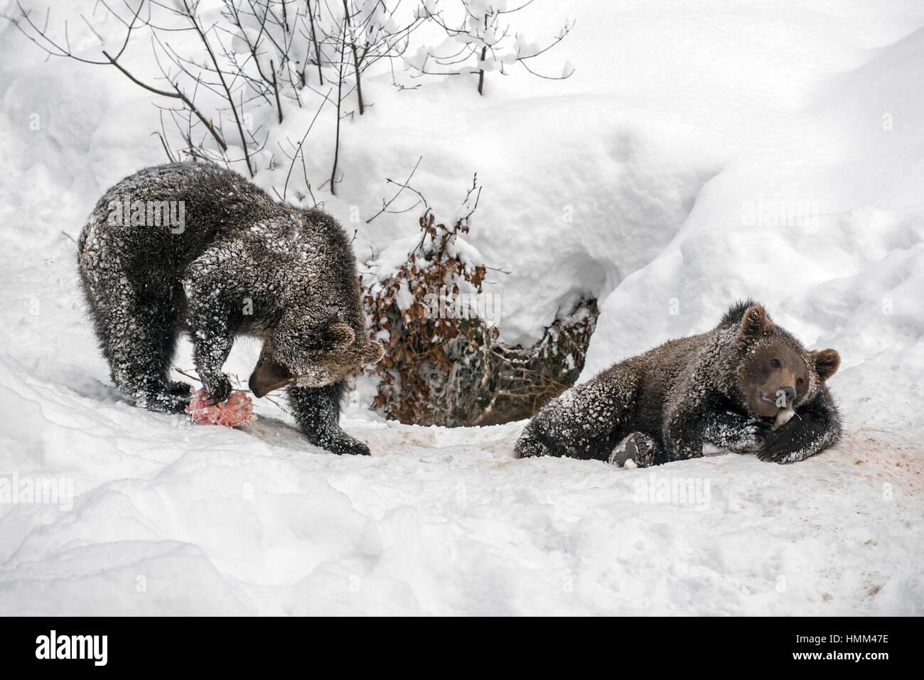 Brown Bear Cubs Eating Stockfotos & Brown Bear Cubs Eating Bilder ...