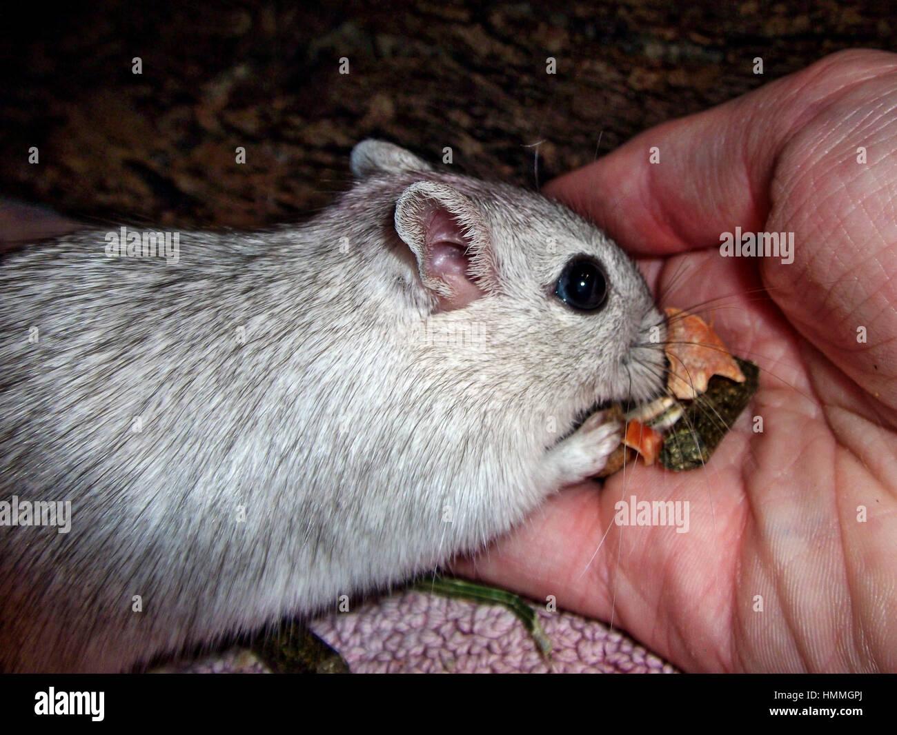 Wüstenrennmaus essen Körner von hand Stockfoto