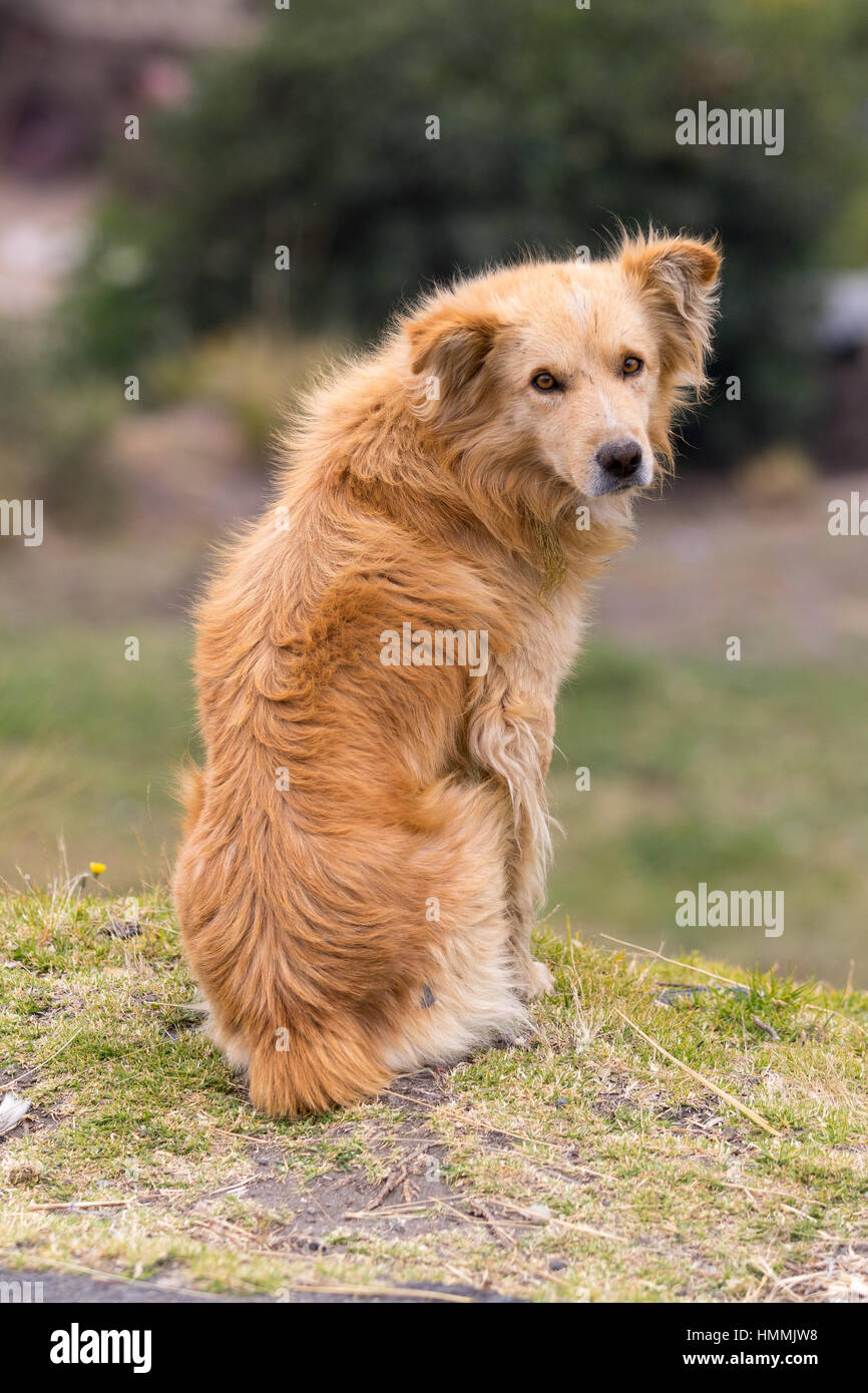 Ecuador, Südamerika, Tier, Hunde, Hund, pelzigen, Säugetier, im Freien, pet, sitzen, streunende Stockbild