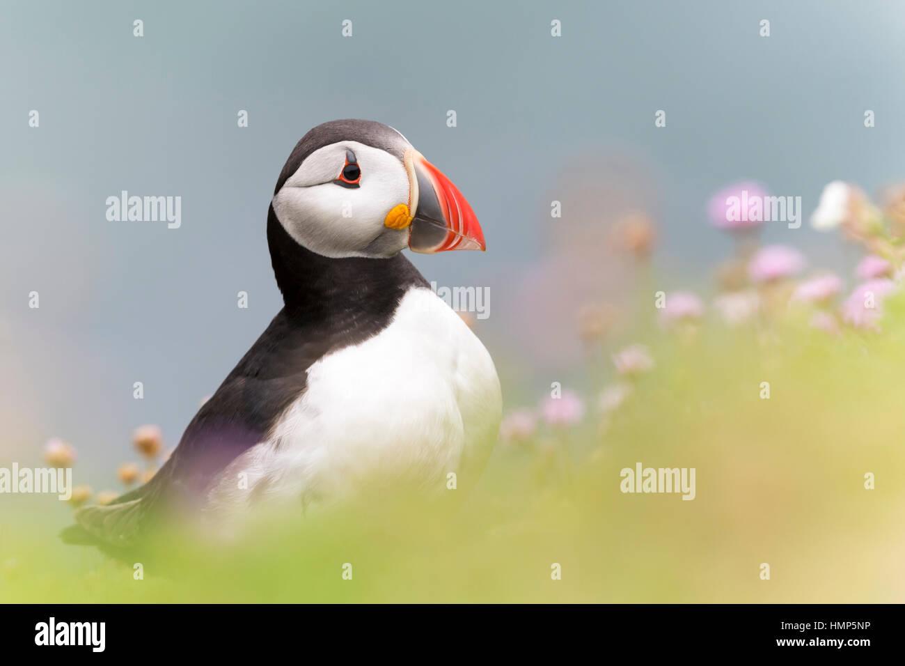 Papageitaucher (Fratercula Arctica) Erwachsenen, stehend unter blühenden Meer Sparsamkeit, geringe Schärfentiefe Stockbild