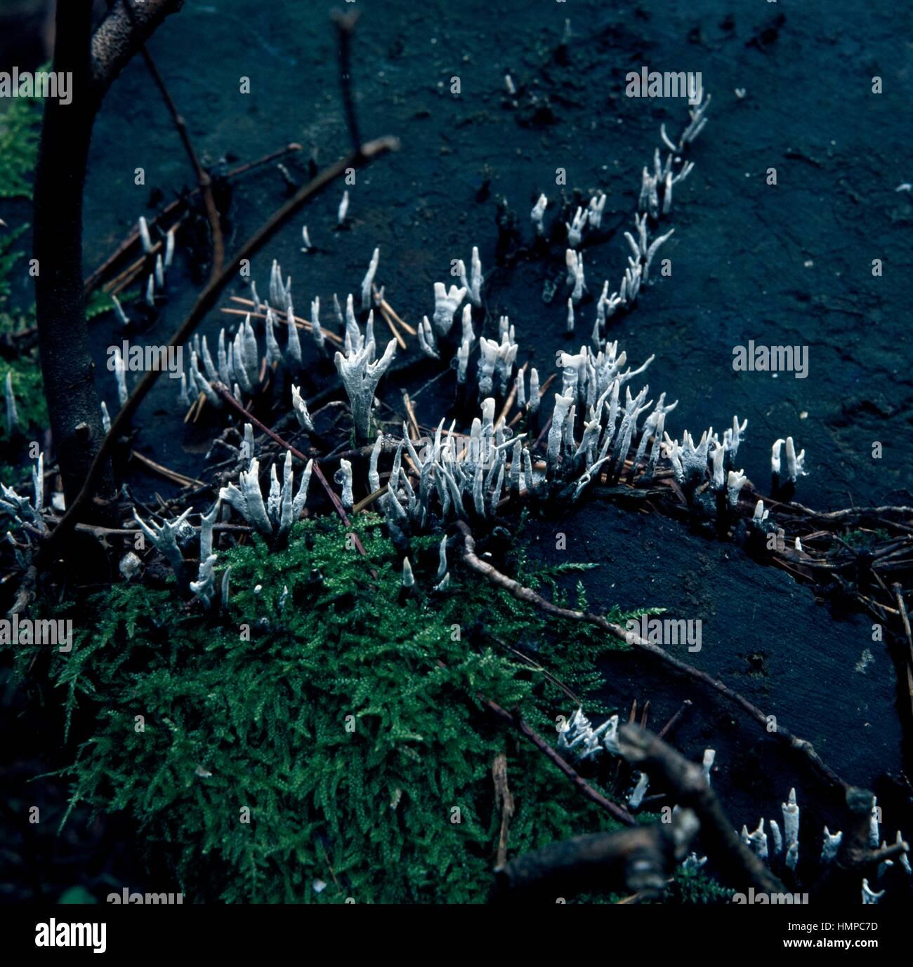 Beispiel für Kerzenständer Pilz, Candlesnuff Pilz, Carbon Geweih oder der Hirsch Horn Pilz (Xylaria Hypoxylon), Stockbild