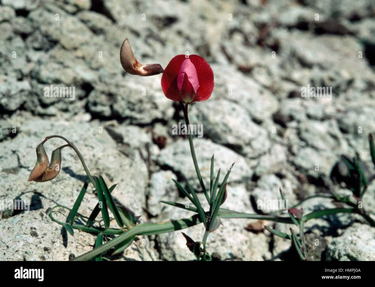 Tanger Erbse (Lathyrus Tingitanus), Fabaceae. Stockbild
