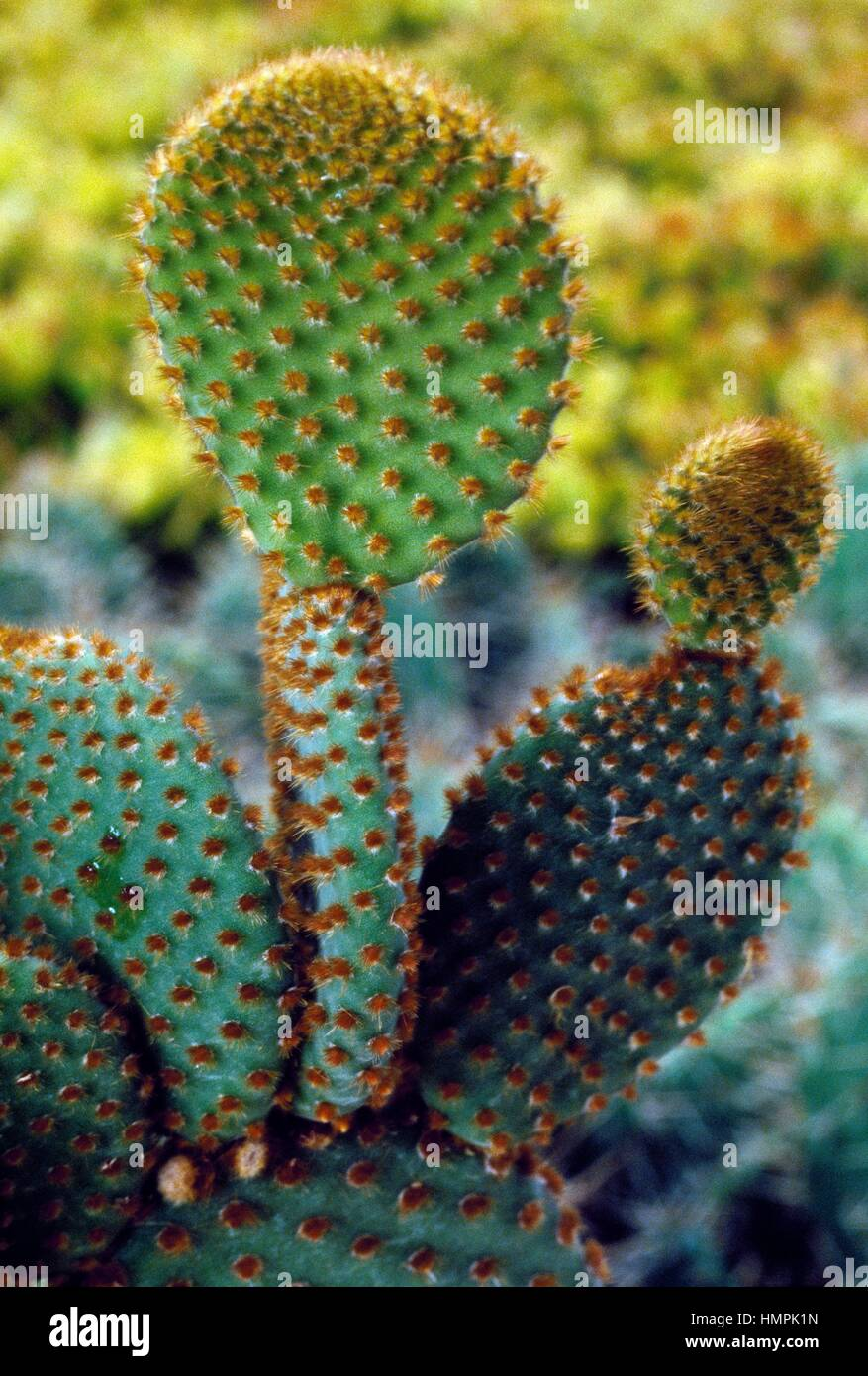 Bunny Ohren Kaktus (Opuntia Microdasys), Cactaceae. Detail der Kladodien. Stockbild