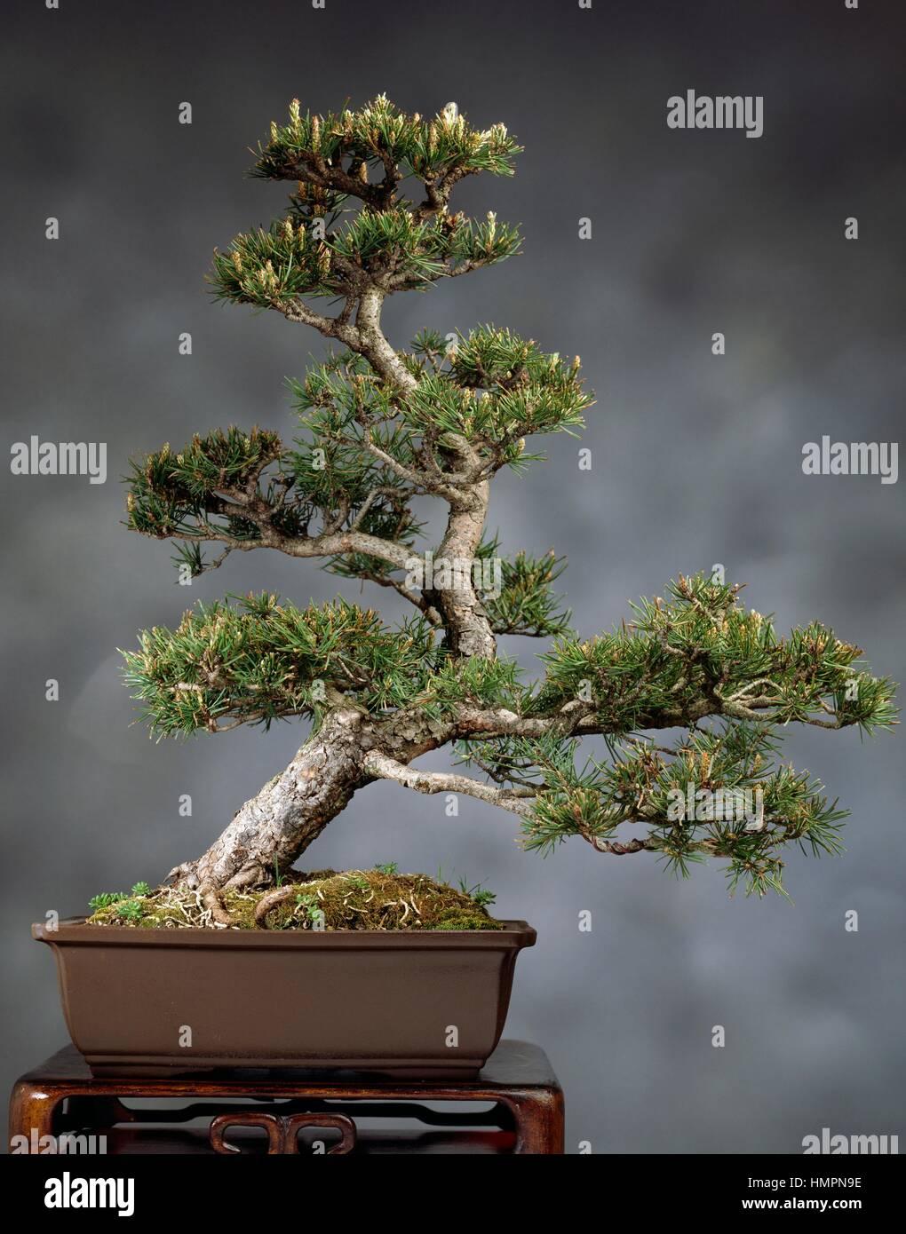 scots pine pinus sylvestris bonsai stockfotos scots pine. Black Bedroom Furniture Sets. Home Design Ideas