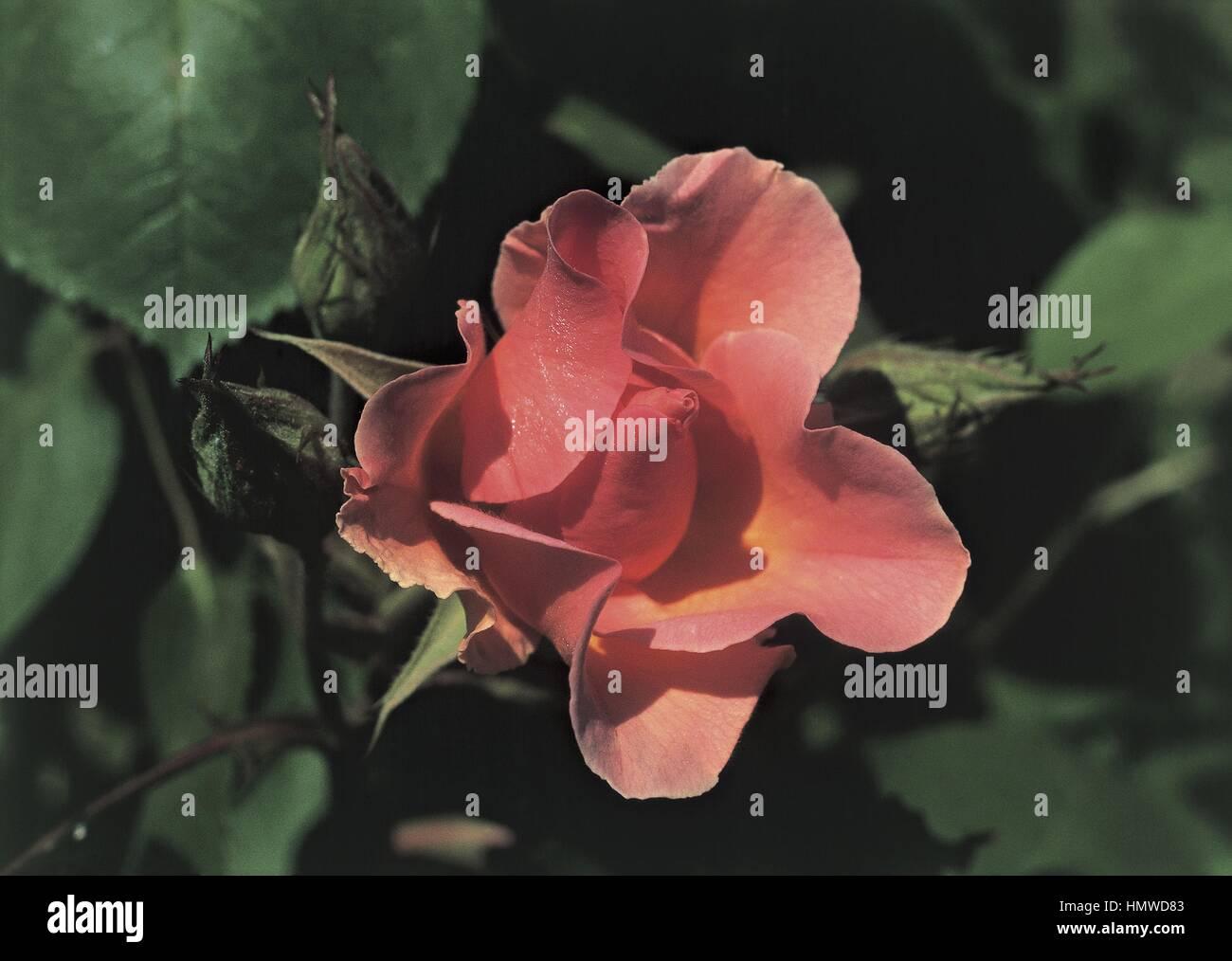 Botanik - Rosengewächse - Soiree de Bonheur rose, var. Cropal. Stockbild