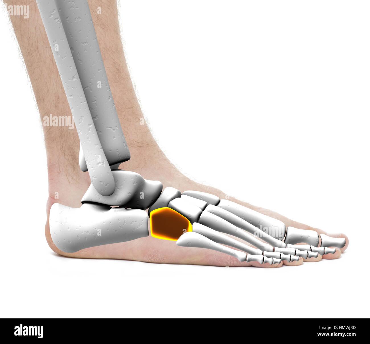 Cuboid Bone Stockfotos & Cuboid Bone Bilder - Alamy