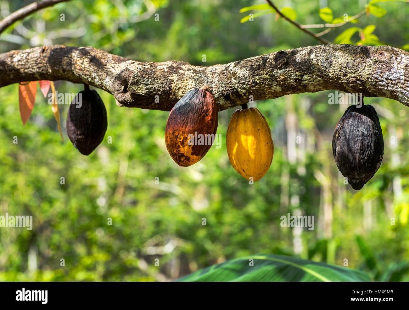 Kuba Kakao Stockbild