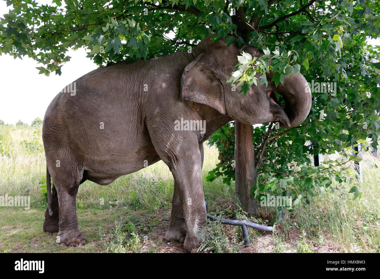 sterben sie 40 jaehrige elefantendame maja des zirkus busch beim ausgang der ausgeglichene. Black Bedroom Furniture Sets. Home Design Ideas